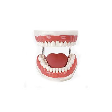 全科医生 口腔护理模型 GD/H11