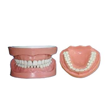 怡然 可卸式有根标准牙模型 YR-L1020